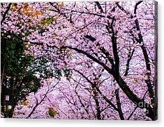 Sakura Acrylic Print