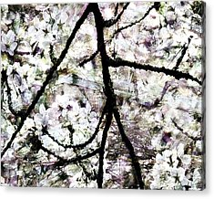 Sakura Acrylic Print by Ken Walker