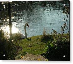 Salisbury Swan Acrylic Print by Jonathan Kotinek