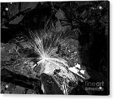 Salix Seed Acrylic Print