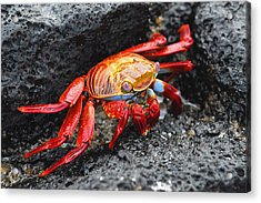 Sally Lightfoot Crab Acrylic Print by Alan Lenk