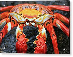 Sally Lightfoot Crab Acrylic Print by Sue Cullumber