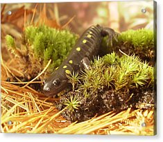 Sally The Spotted Salamander Acrylic Print by Martha Ayotte