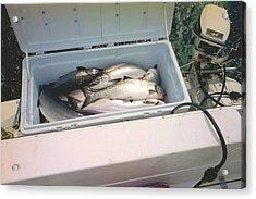 Acrylic Print featuring the photograph Salmon Catch Of Day by Judyann Matthews