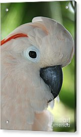 Salmon Crested Moluccan Cockatoo Acrylic Print by Sharon Mau
