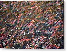 Salmon So Thick You Can Walk On Them Acrylic Print