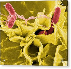Salmonella Bacteria, Sem Acrylic Print by Science Source
