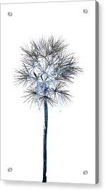 Salsify Seed Head Acrylic Print by Gareth Davies