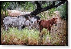 Salt River Wild Horses Acrylic Print