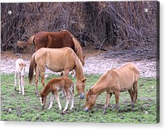 Salt River Wild Horses In Winter Acrylic Print