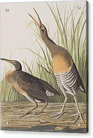 Salt Water Marsh Hen Acrylic Print
