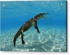 Saltwater Crocodile Acrylic Print by Franco Banfi and Photo Researchers