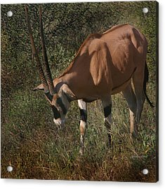 Samburu Oryx Acrylic Print