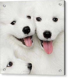 Samoyed Puppies Acrylic Print