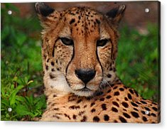 Acrylic Print featuring the photograph Samson by Michiale Schneider