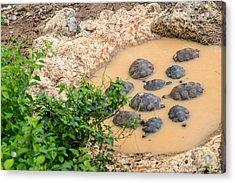 San Cristobal 2-year Old Tortoises Acrylic Print by Harry Strharsky