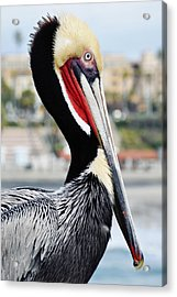 Acrylic Print featuring the photograph San Diego Pelican by Kyle Hanson