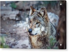 Sancho Searching The Area Acrylic Print