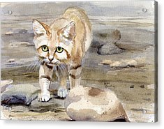 Sand Cat - Felis Margarita Acrylic Print