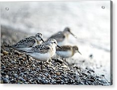 Sanderling . Got Me Confused To Acrylic Print
