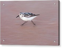 Sanderling On The Run Acrylic Print