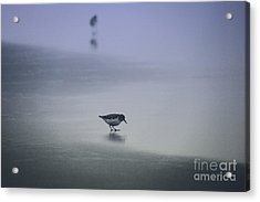 Sanderling Acrylic Print by Sheila Ping