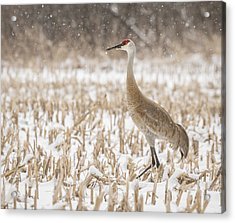 Sandhill Crane 2016-3 Acrylic Print