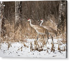 Acrylic Print featuring the photograph Sandhill Crane 2016-4 by Thomas Young