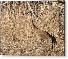 Acrylic Print featuring the photograph Sandhill Crane 2016-7 by Thomas Young