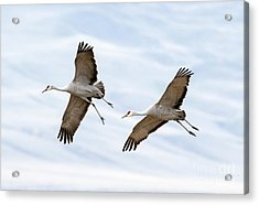 Sandhill Crane Approach Acrylic Print by Mike Dawson