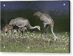 Sandhill Crane Family Acrylic Print