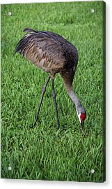 Acrylic Print featuring the photograph Sandhill Crane II by Richard Rizzo
