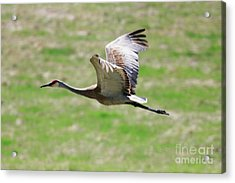 Sandhill Crane In Flight Acrylic Print