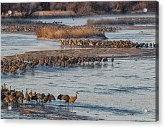 Sandhill Crane Platte River  Acrylic Print