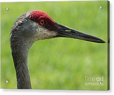 Sandhill Crane Profile Acrylic Print by Carol Groenen