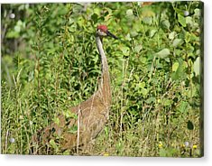 Acrylic Print featuring the photograph Sandhill Crane by Ron Read
