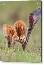 Sandhill Crane With Chicks Acrylic Print by Alfred Forns