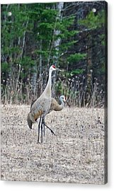 Acrylic Print featuring the photograph Sandhill Cranes 1166 by Michael Peychich