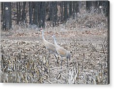 Acrylic Print featuring the photograph Sandhill Cranes 1171 by Michael Peychich