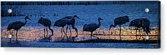 Sandhill Cranes At Twilight Acrylic Print