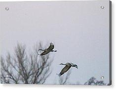 Sandhill Cranes Flying Acrylic Print