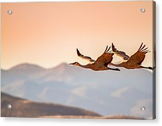 Sandhill Cranes Flying Over New Mexico Mountains - Bosque Del Apache, New Mexico Acrylic Print by Ellie Teramoto