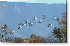 Sandhill Cranes In Flight Acrylic Print by Alan Toepfer