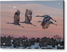 Sandhill Cranes In Flight Acrylic Print by Patti Deters