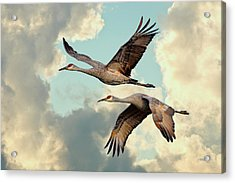 Sandhill Cranes In Flight Acrylic Print by Steven Llorca