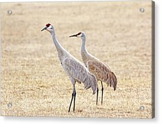 Acrylic Print featuring the photograph Sandhill Cranes Of Montana by Jennie Marie Schell