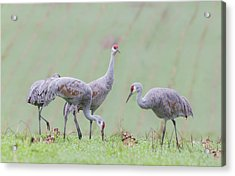 Acrylic Print featuring the photograph Sandhill Cranes Of Ridgefield by Angie Vogel