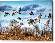 Acrylic Print featuring the photograph Sandhill Cranes by Sumoflam Photography