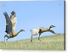 Sandhill Cranes Taking Flight Acrylic Print