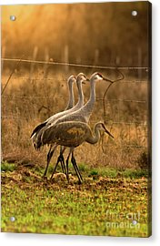 Acrylic Print featuring the photograph Sandhill Cranes Texas Fence-line by Robert Frederick